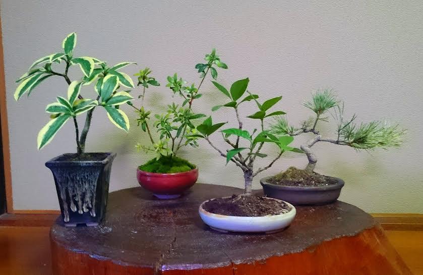 庭木を小さな盆栽にのイメージ