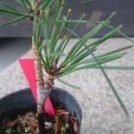 木を増やす方法 (その2) つぎ木についての詳しい内容