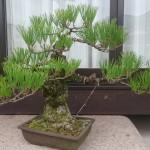 盆栽の育て方・作り方(剪定方法や経年変化の様子)