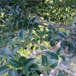 庭木を綺麗に剪定する方法(中級者向けのポイント)