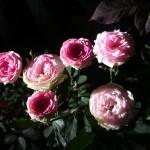 バラの上手な育て方(苗の選び方や管理方法について)