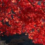 綺麗に紅葉するオススメの庭木10選