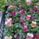 冬の花壇にオススメ!丈夫で簡単に育てられる花3選と植え方の方法