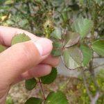 植物(バラ)につきやすいアブラムシの具体的な駆除方法2選